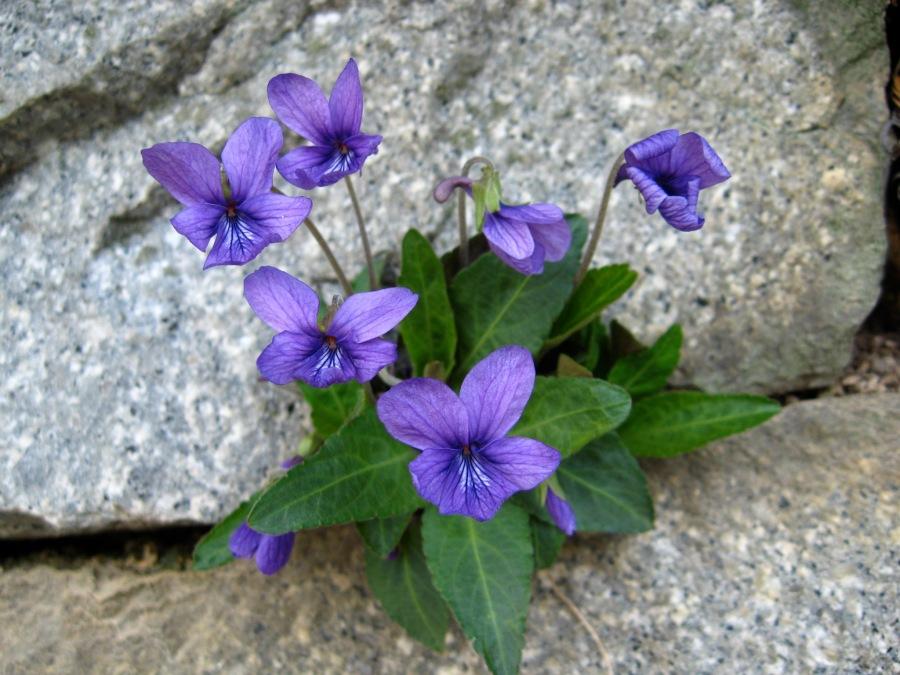 violets-in-rock